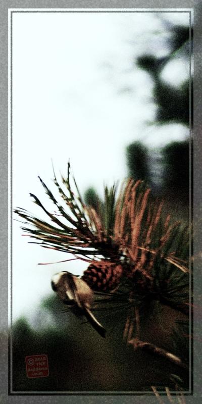 ©12 Pine Cone Chickadee