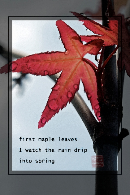 ©13 Red Maple Rain 4 sml6x