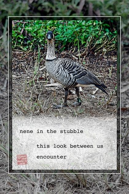 ©13 Nene Goose Encounter 4 sml 6x